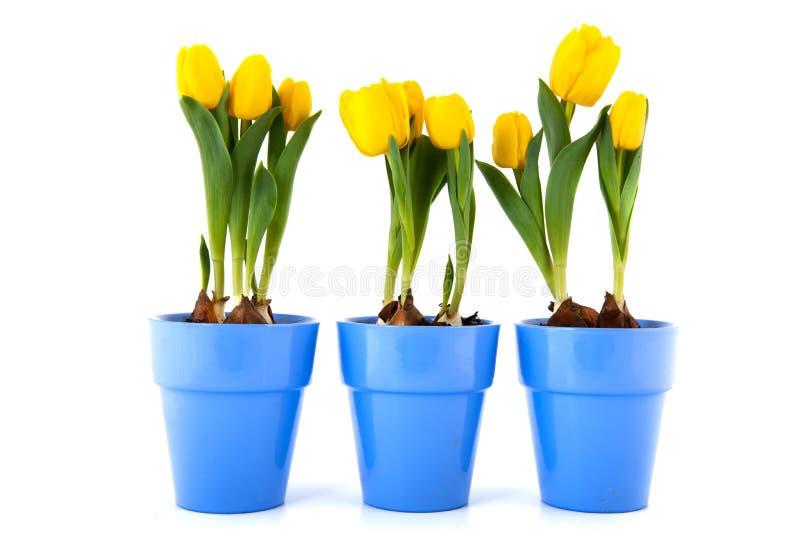 Gelbe Tulpen in den purpurroten Potenziometern lizenzfreie stockfotos