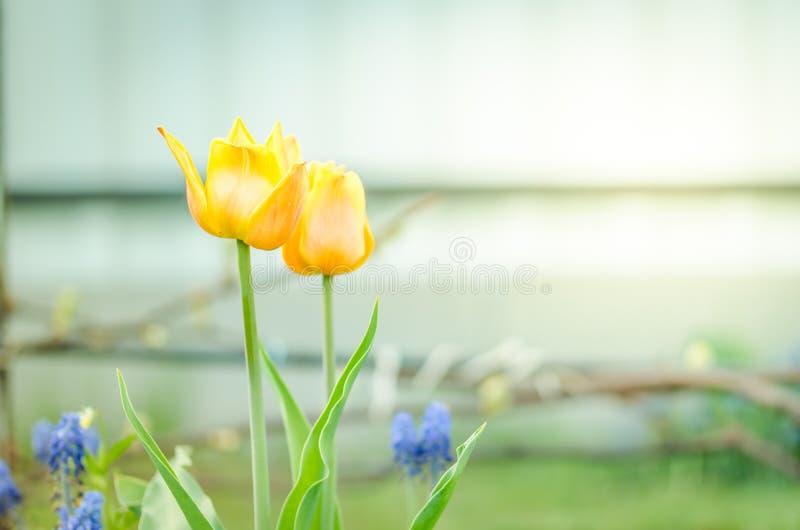 gelbe Tulpen der Feldblumen Schöne Naturszene mit blühenden gelben Tulpen entspringen Blumen Wiese voll des gelben Löwenzahns lizenzfreie stockfotos