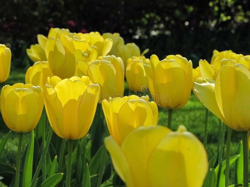 Gelbe Tulpen mit roten Kanten im Sonnenlicht lizenzfreie stockfotos