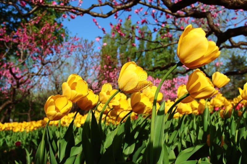 Gelbe Tulpen und roter Pfirsich blüht im Frühjahr lizenzfreie stockbilder