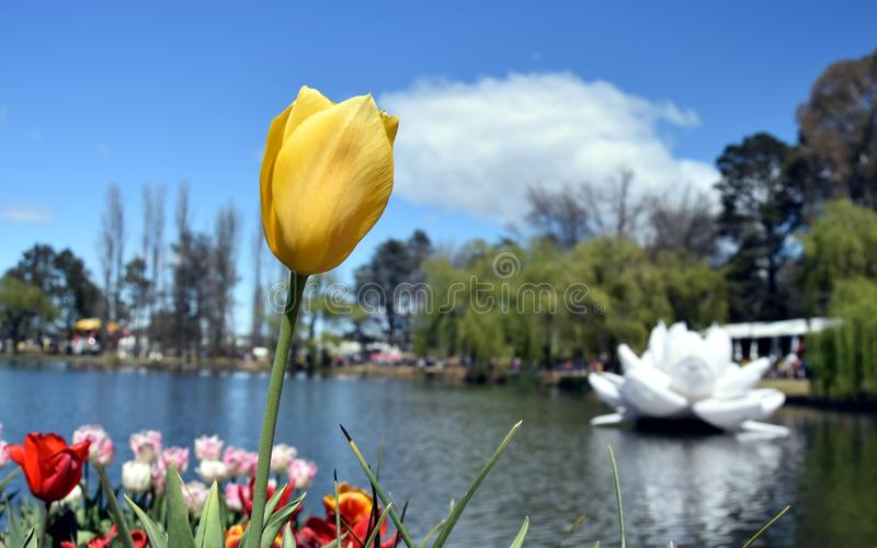 Gelbe Tulpenblume gegen blauen Himmel stockbild