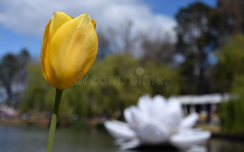 Gelbe Tulpenblume gegen blauen Himmel lizenzfreie stockfotografie