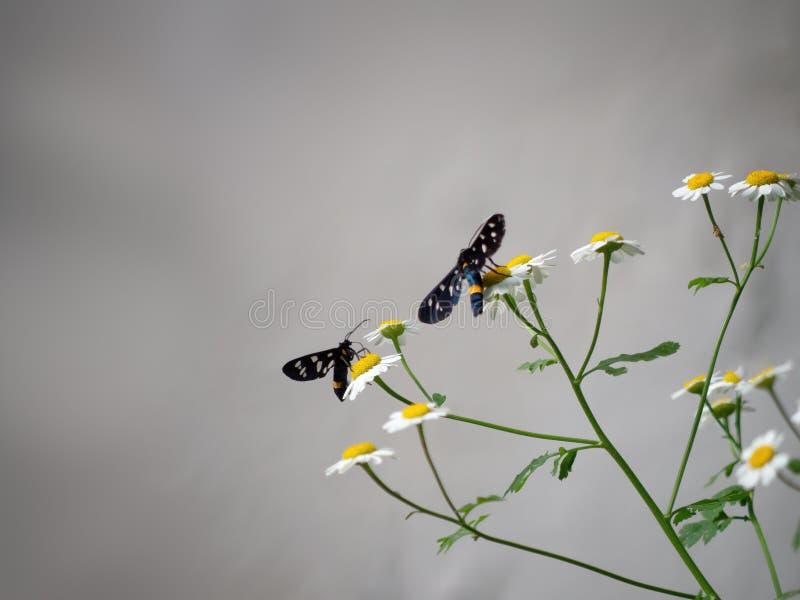 Gelbe umgeschnallte burnet Motten auf wilden Gänseblümchenblumen Amata-phegea früher Syntomis-phegea Alias neun beschmutzte Motte lizenzfreies stockbild