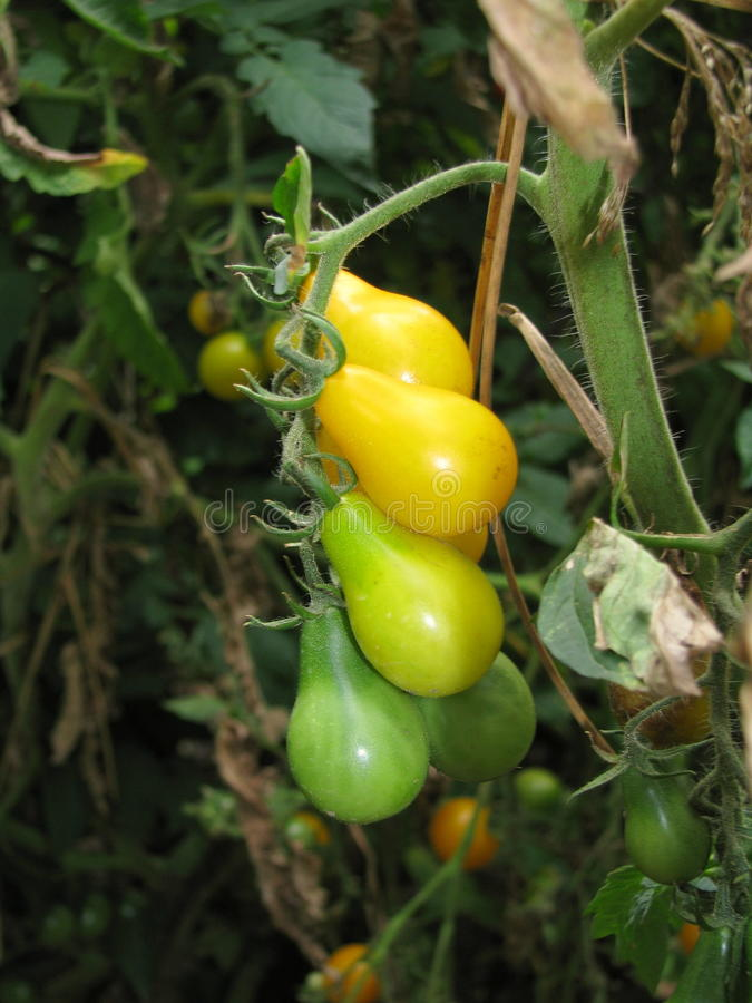 Gelbe und grüne Birnentomatennahaufnahme stockfotos