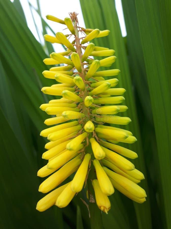 Gelbe und grüne Blume stockbilder