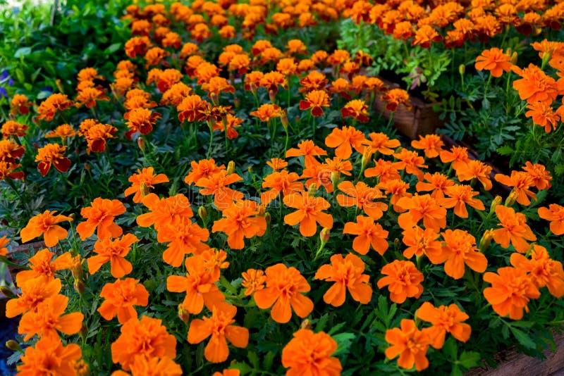 Gelbe und orange Blumen der Ringelblume in den T?pfen f?r Verkauf auf Gartenmarktanzeige lizenzfreie stockbilder