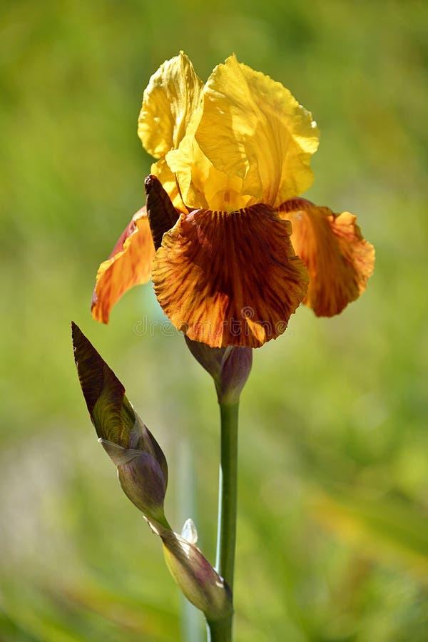 Gelbe und orange Iris lizenzfreie stockfotos