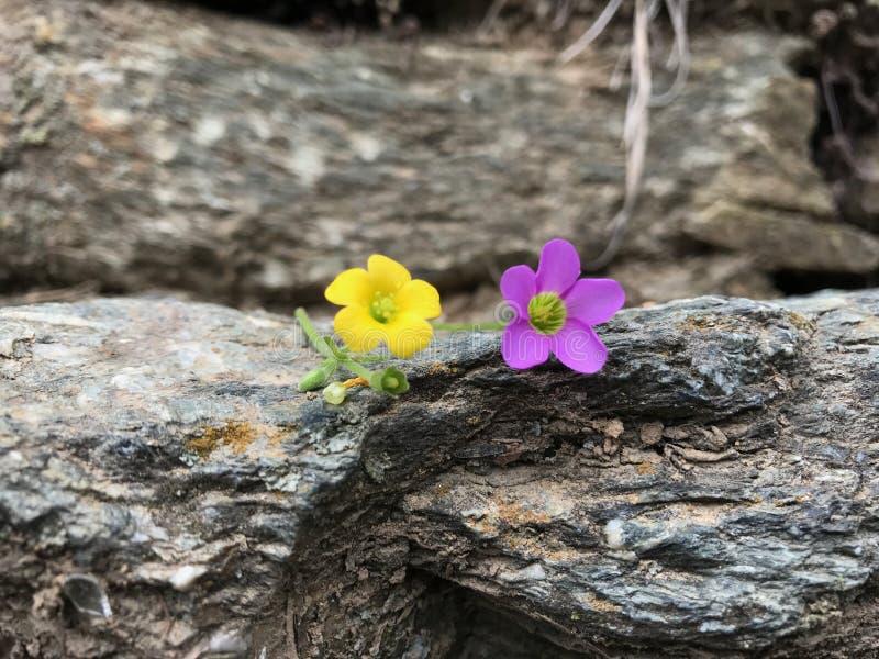 Gelbe und purpurrote Blume stockbilder