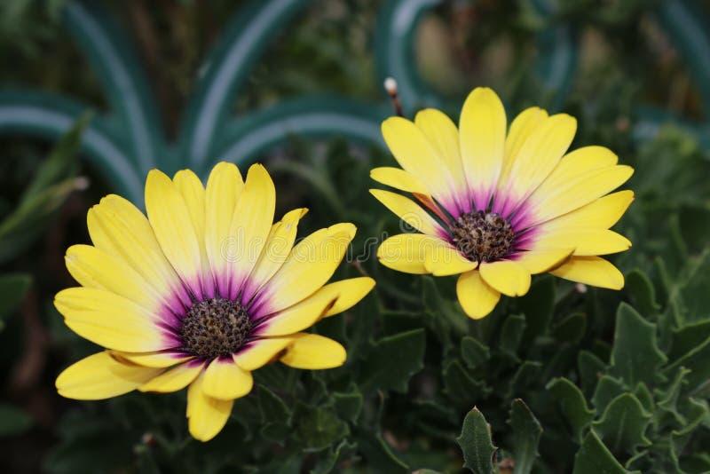 Gelbe und purpurrote Doppelblumen stockfoto