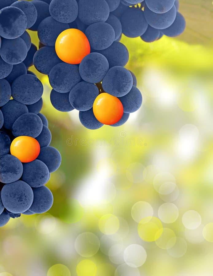 Gelbe und purpurrote Trauben - stehen Sie heraus Konzept stockfotografie
