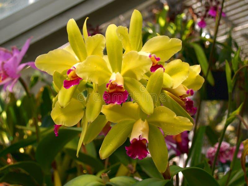 Gelbe und rosa Orchideen-Blüte lizenzfreie stockbilder