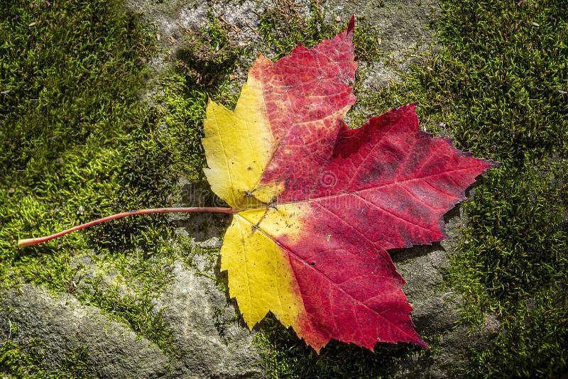 Gelbe und rote Ahornblätter auf einem Felsen mit Moos lizenzfreie stockfotografie