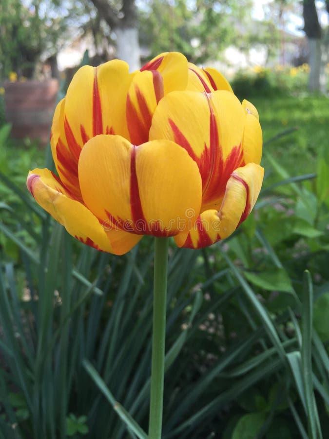 Gelbe und rote Blume lizenzfreie stockfotos