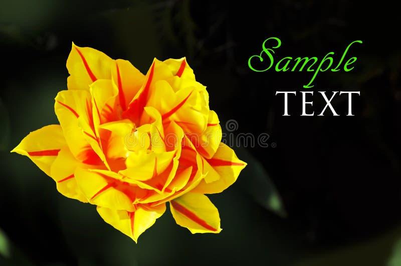 Gelbe Und Rote Blume Auf Dunkelgrünem Hintergrund Stockfoto