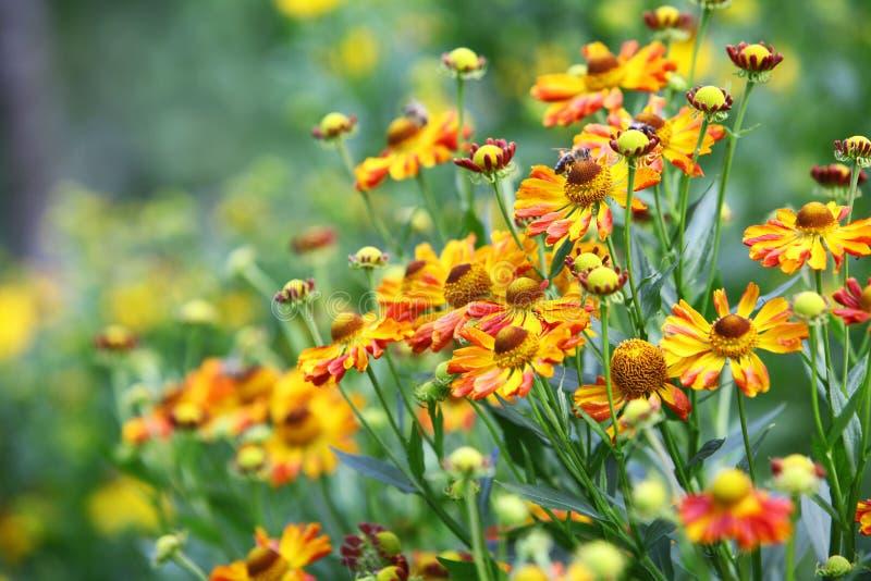 Gelbe und rote Blumen im Garten stockbild