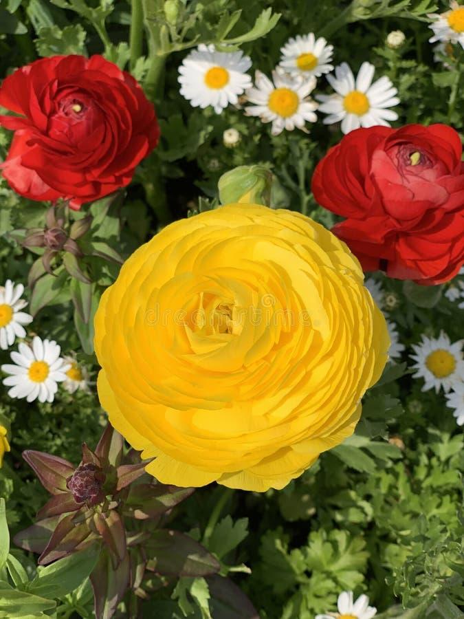 Gelbe und rote rosafarbene Nahaufnahme stockfotos