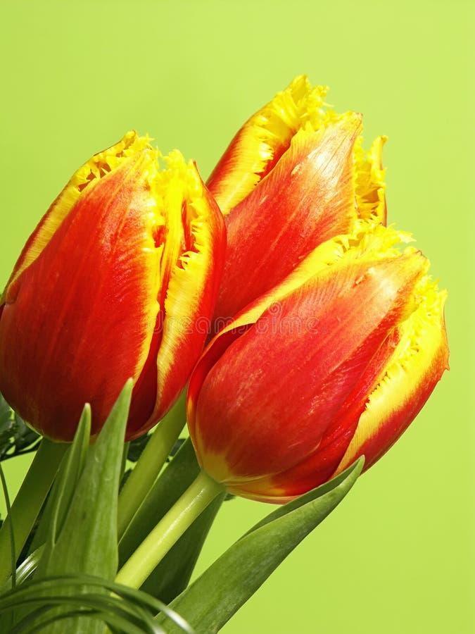 Gelbe und rote Tulpen stockbild