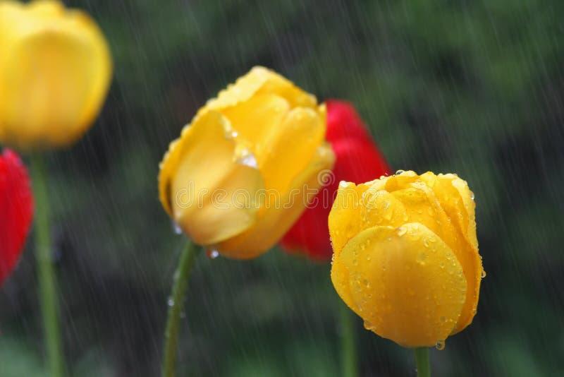 Gelbe und rote Tulpen im Regen mit DOF auf unterer rechter gelber Tulpe lizenzfreies stockbild