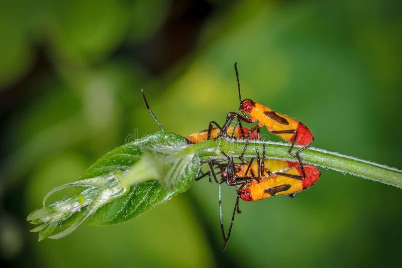Gelbe und rote Wanzen auf Bush stockfotografie