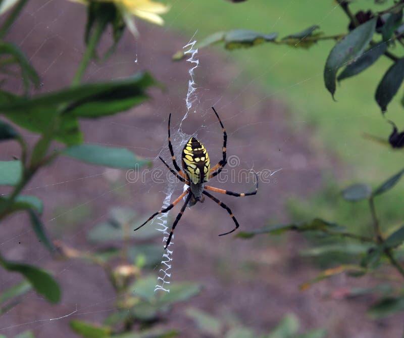 Gelbe und schwarze Gartenkreuzspinne lizenzfreies stockbild