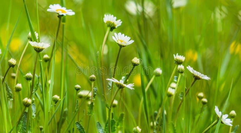 Gelbe und weiße Blumen des Gänseblümchens lizenzfreie stockbilder