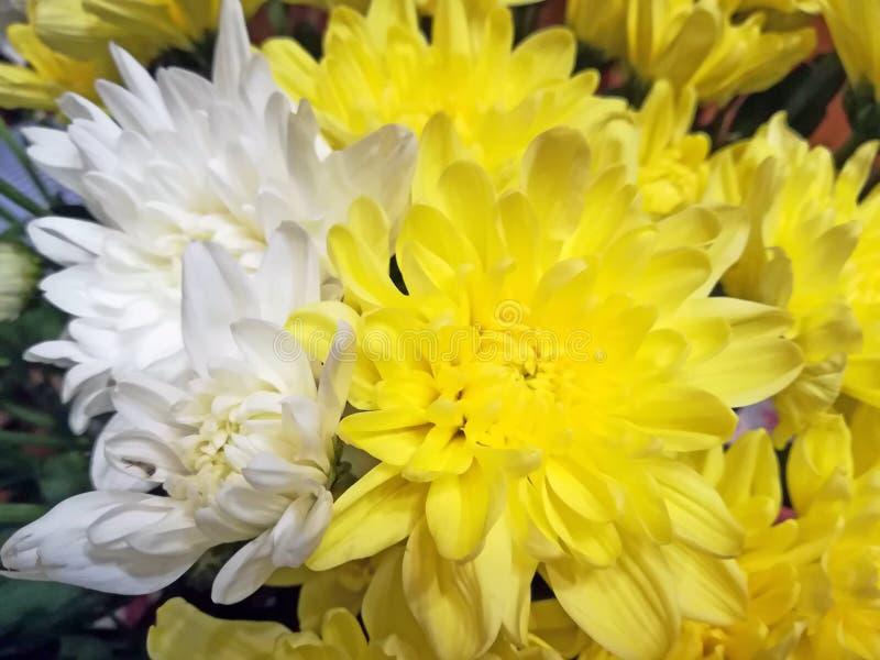 Gelbe und weiße Chrysanthemen stockbild