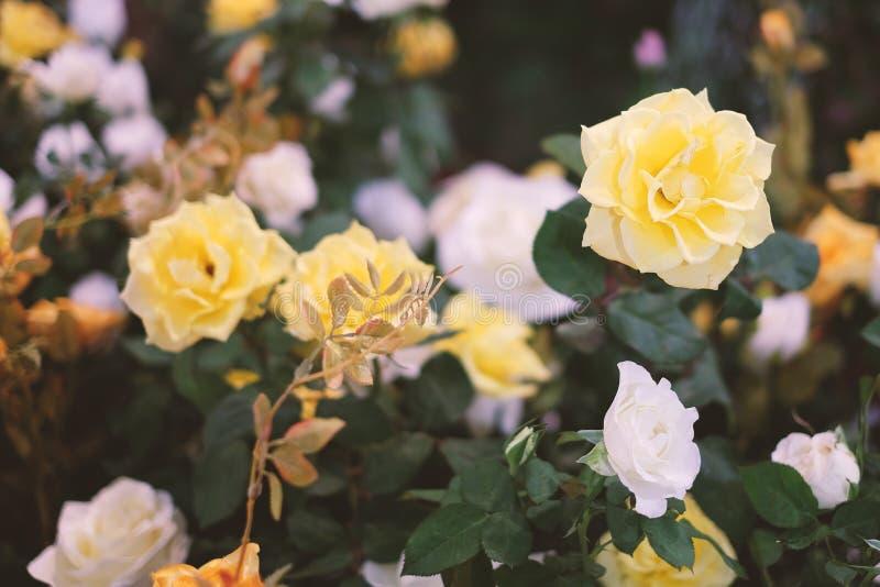 Gelbe und weiße Rosen, die im Garten für Hintergrund oder Beschaffenheit, Valentinsgruß ` s Tag blühen stockfoto