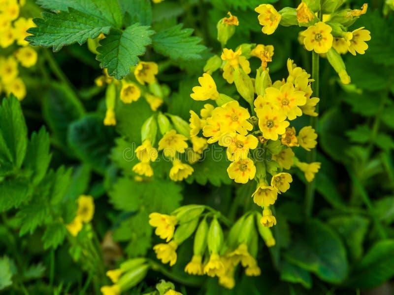 Gelbe Vergewaltigungsrübenblumen in der Makronahaufnahme, blühende Feldsenfanlage während der Frühlings-Saison, Naturhintergrund lizenzfreies stockfoto