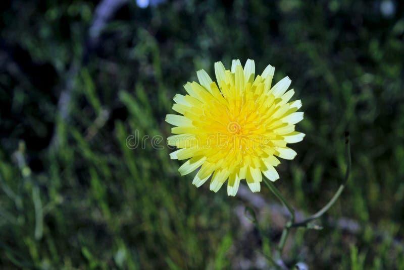 Gelbe Wüstenlöwenzahnblume, Wüsten-Nationalpark Anza Borrego stockfotos