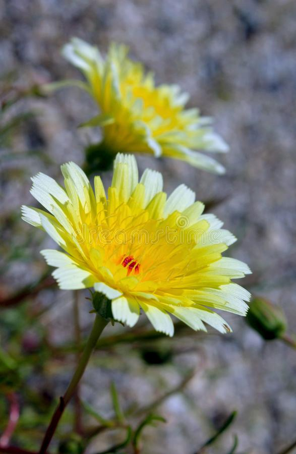 Gelbe Wüstenlöwenzahnblume, Wüsten-Nationalpark Anza Borrego lizenzfreie stockfotografie