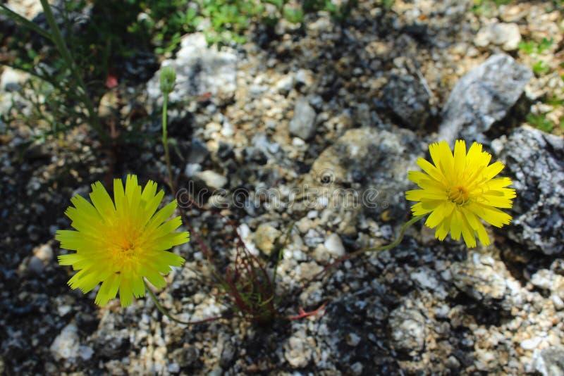 Gelbe Wüstenlöwenzahnblume, Wüsten-Nationalpark Anza Borrego, stockbilder