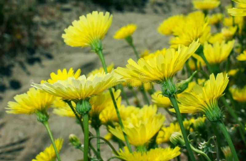 Gelbe Wüstenlöwenzahnblumen, Wüsten-Nationalpark Anza Borrego, lizenzfreie stockfotos