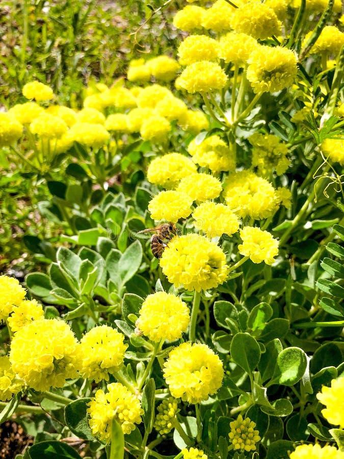 Gelbe Wespe und wilde Blumen in einer Wiese lizenzfreie stockfotos
