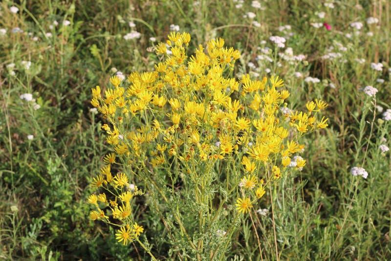 Gelbe Wildblumen auf der Wiese lizenzfreies stockfoto
