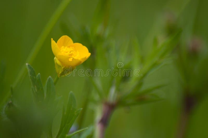 Gelbe wilde Blumen in einer Wiese - Ranunculus repens lizenzfreie stockfotografie