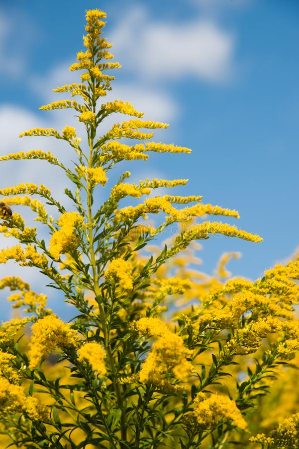 Gelbe wilde Blumen gegen blauen Himmel stockfotos