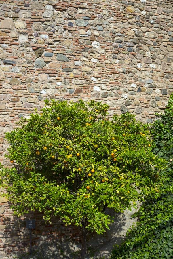 Gelbe wilde Tangerinen auf den Ruinen von Sträuchen Die alten Steinwände der arabischen Festung von Gibralfaro Markstein von Màla stockbilder