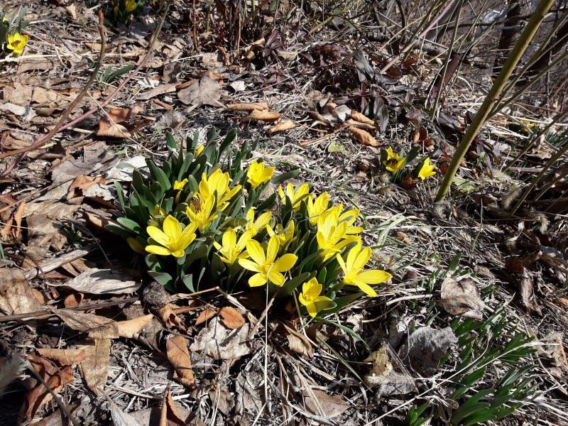 Gelbe wilde Tulpe stockfotos