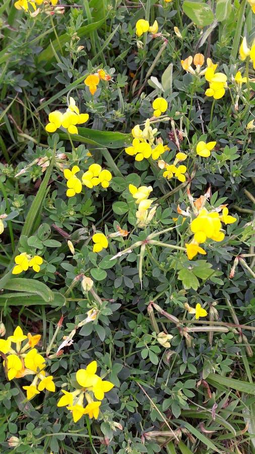 Download Gelbe Wildflowersblumen In Der Wiese Stockfoto - Bild von generisch, gelb: 96926320