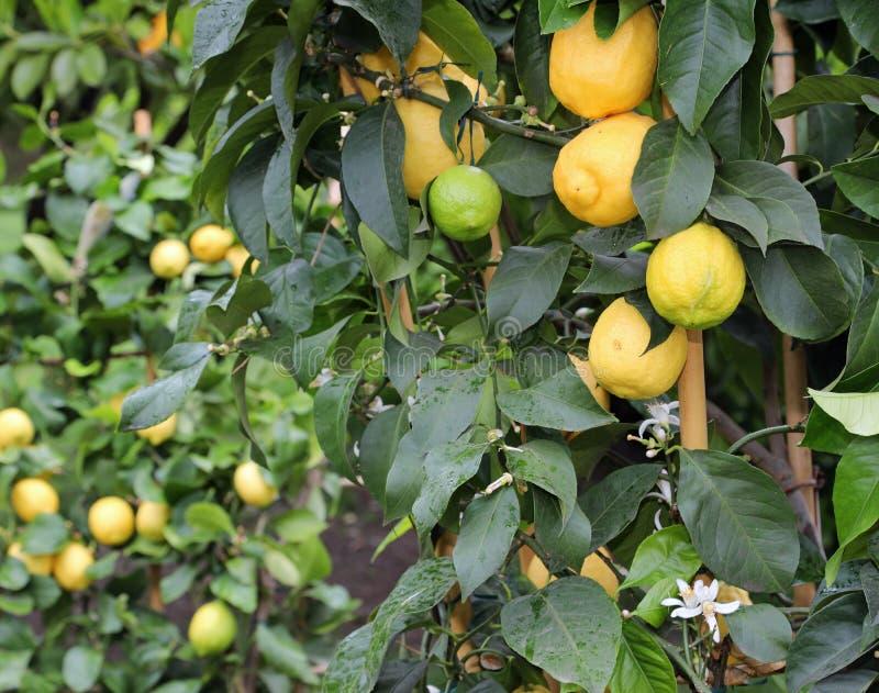 gelbe Zitronen auf den Anlagen einer breiten Zitrusfruchtwaldung lizenzfreie stockfotos