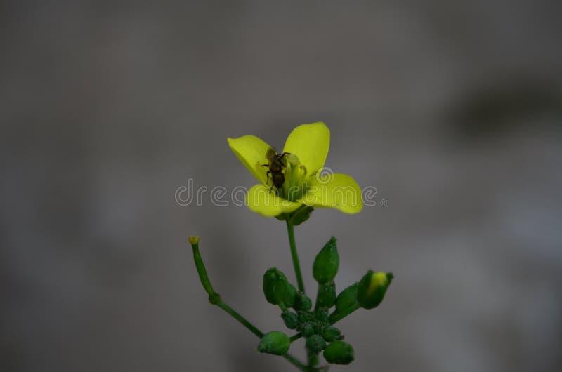 Gelber Arugula, Rakete oder rucola Blume lateinischer Eruca Sativa in der Kohlfamilie stockfotos