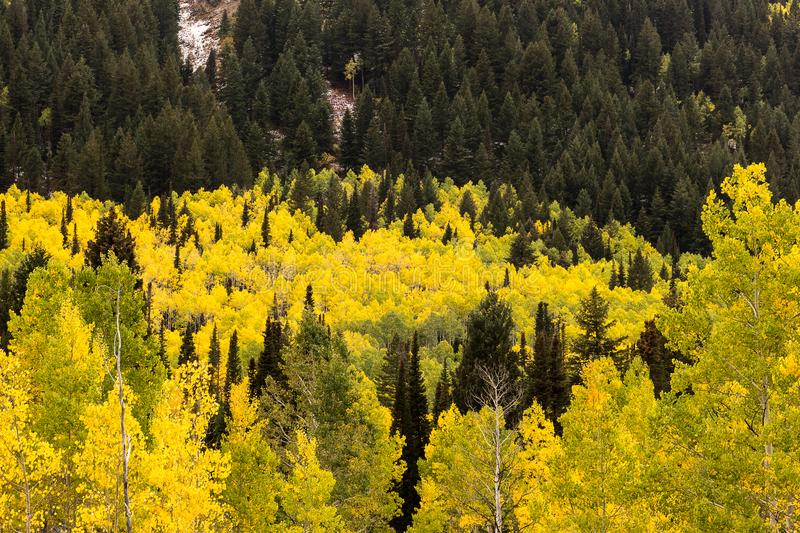 Gelber Aspen Leaves im Fall umgeben durch Kiefern up große Pappel-Schlucht stockfotos