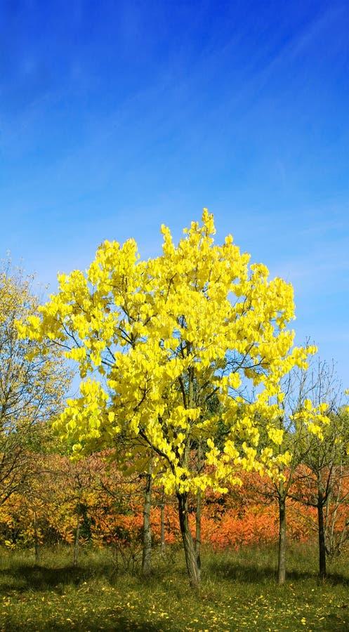 Gelber Baum stockfoto