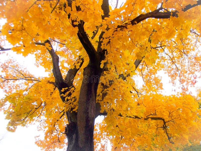Gelber Baum lizenzfreie stockbilder