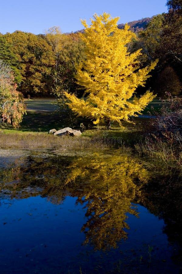 Gelber Baum durch Pond lizenzfreie stockfotografie