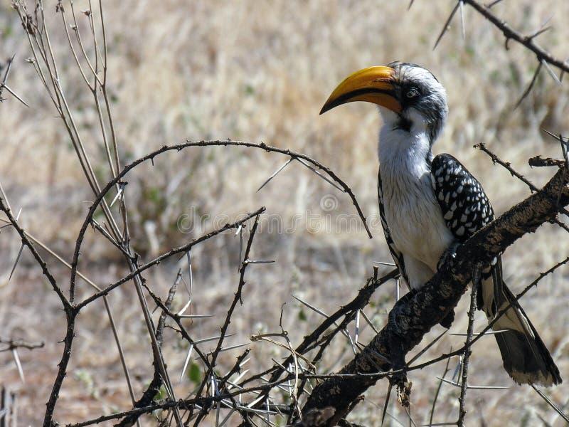 Gelber berechneter Hornbill, Samburu, Kenia lizenzfreie stockbilder