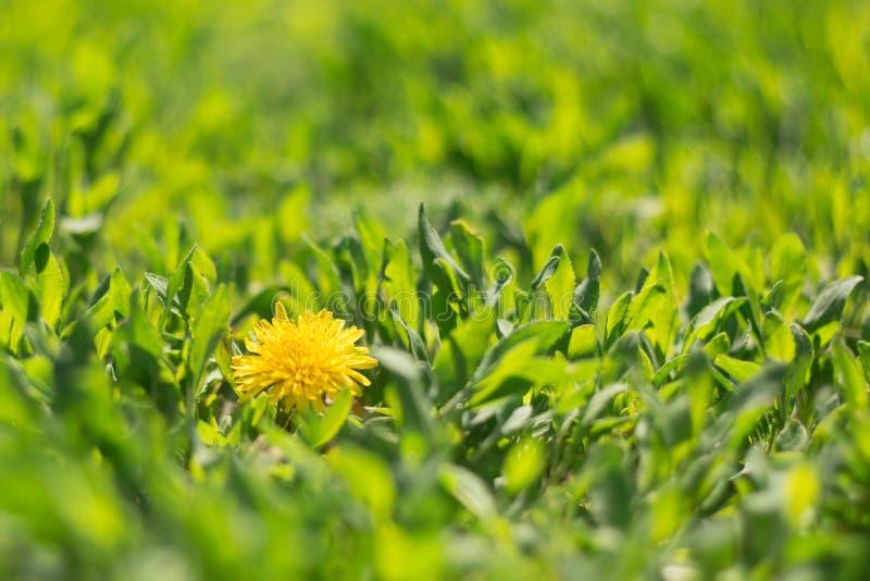 Gelber blühender Löwenzahn im Gras stockfoto