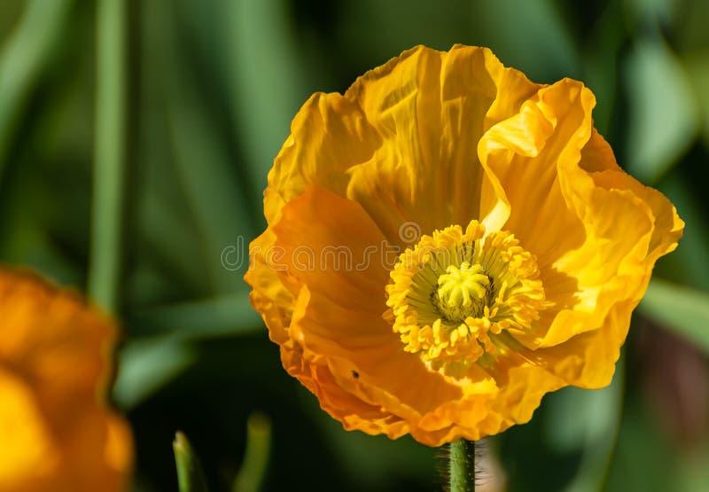Gelber Blumenabschlu? herauf Bild mit gr?nem Hintergrund lizenzfreies stockfoto