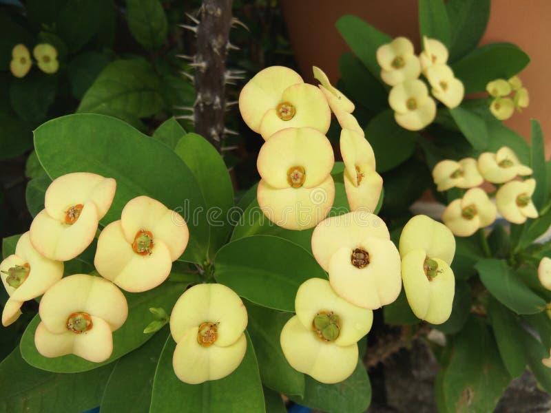Gelber Blumenblumenstrauß von Euphorbiengummi milii, Christus-Dorn, Dornenkrone lizenzfreies stockfoto