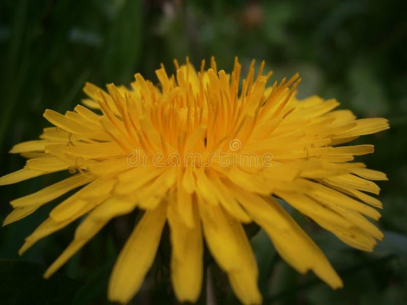 Gelber Blumenlöwenzahn stockfotos